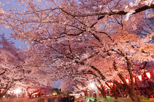 Cherry Blossom Aasian dating jo jäsen